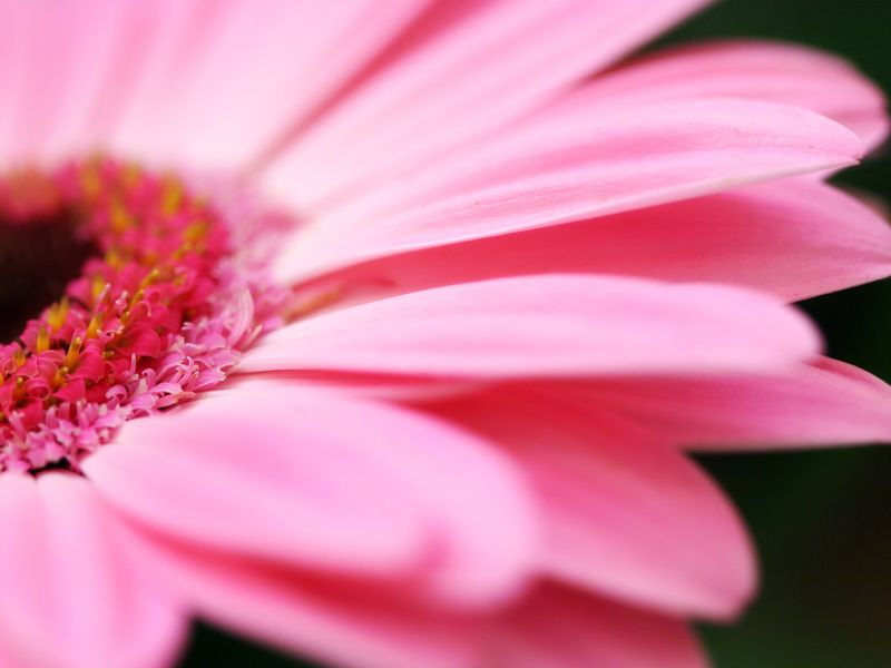 Pink_flower_petals_s_1024x768-793888