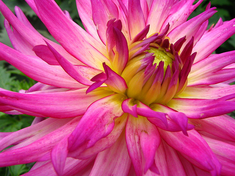 800px-Unidentified_Pink_Flower_Closeup_2048px