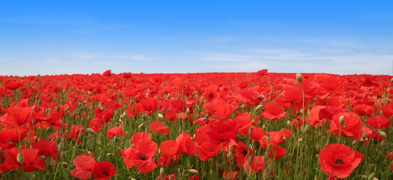 A1_Poppy_Field_by_TinSpider